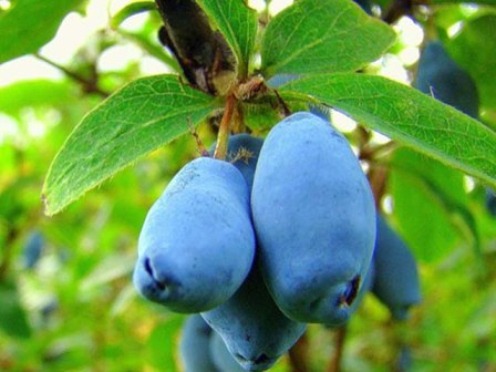 жимолость плодовая выращивание и уход